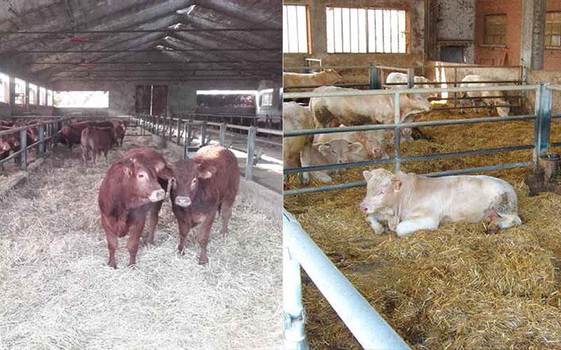 malattie comuni bovini