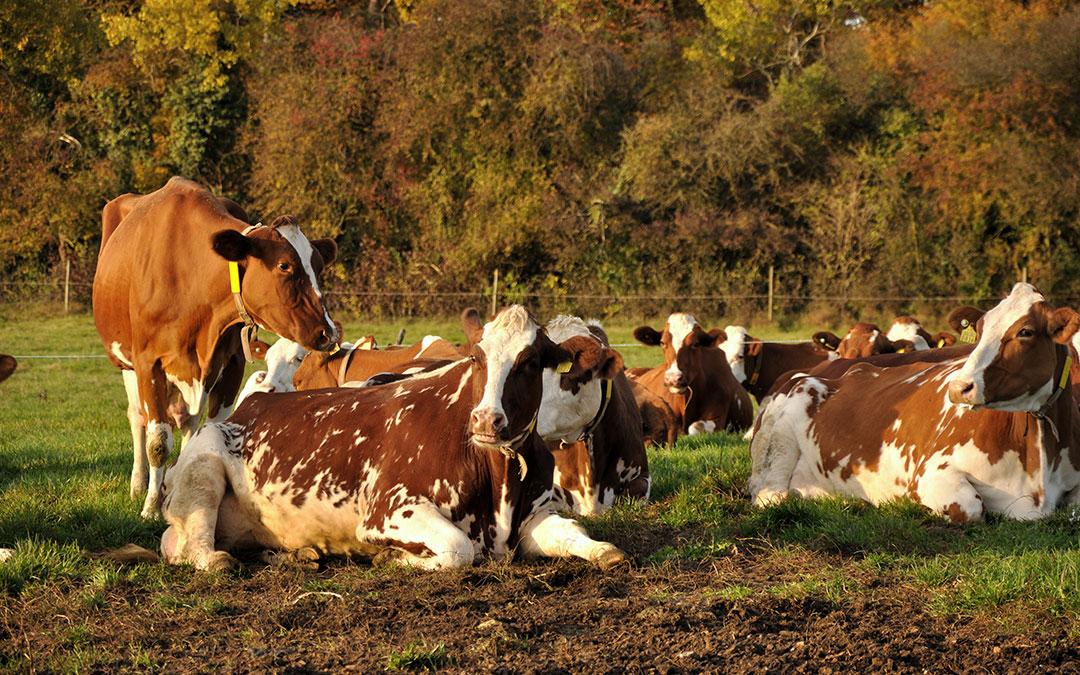 Autunno stagione di vacche stanche