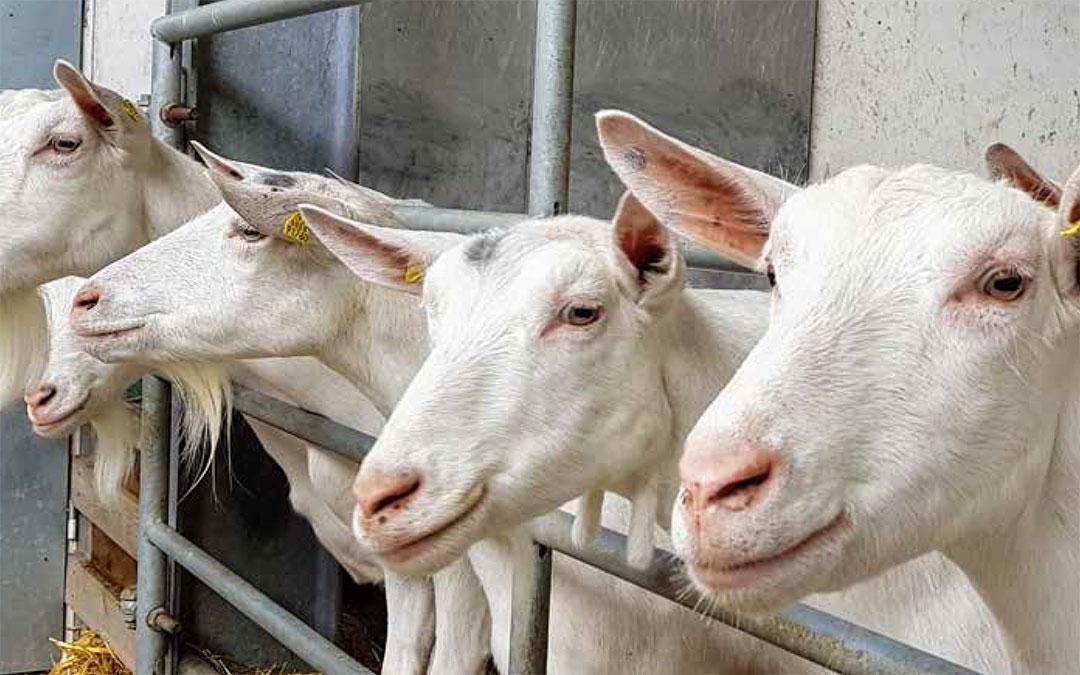 Prodotti per capre da latte
