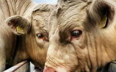 Qualità della carne bovina