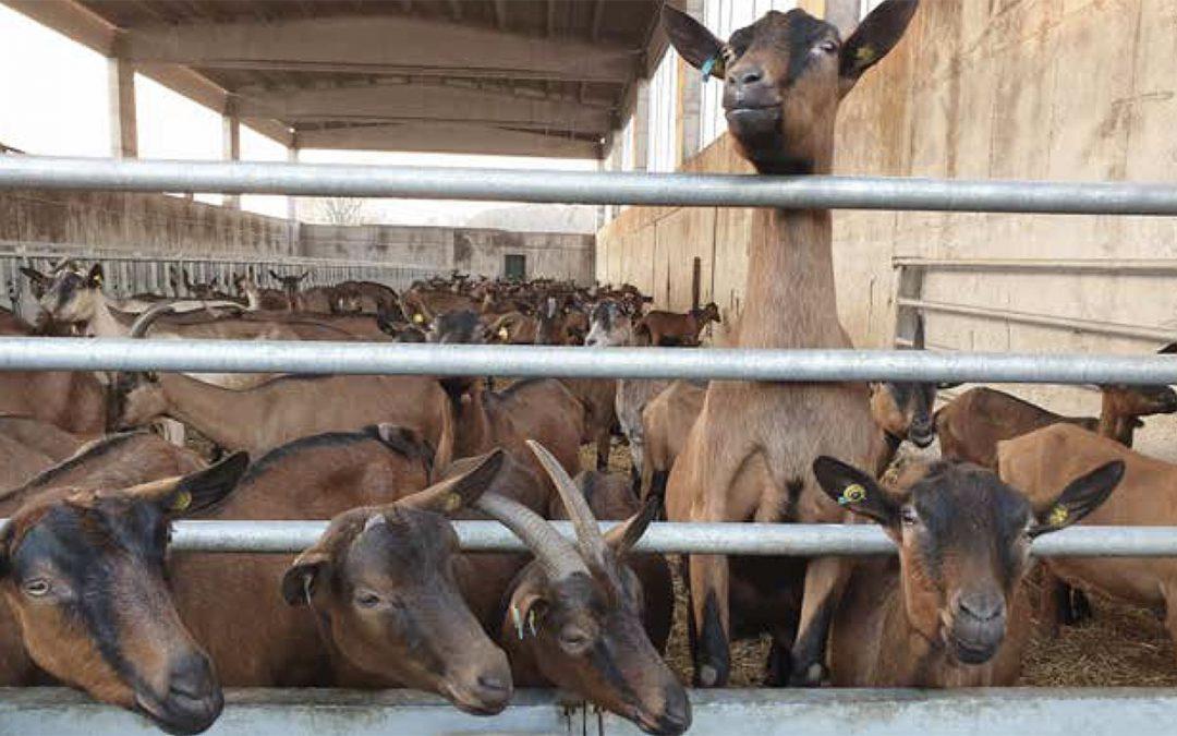 Allevatori di capre